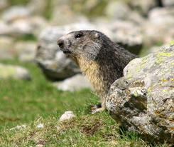 Groundhog Removal Services in London - ASAP Pest Control