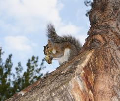Squirrel Removal Services in London by ASAP Pest Control