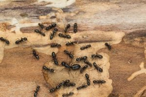 Carpenter Ant Control Services from ASAP Pest Control in London, ON
