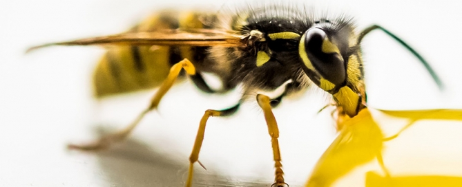 Identifying Yellowjackets in Ontario