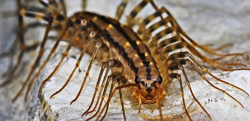 The House Centipede