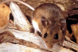 Get Rid of Deer Mice