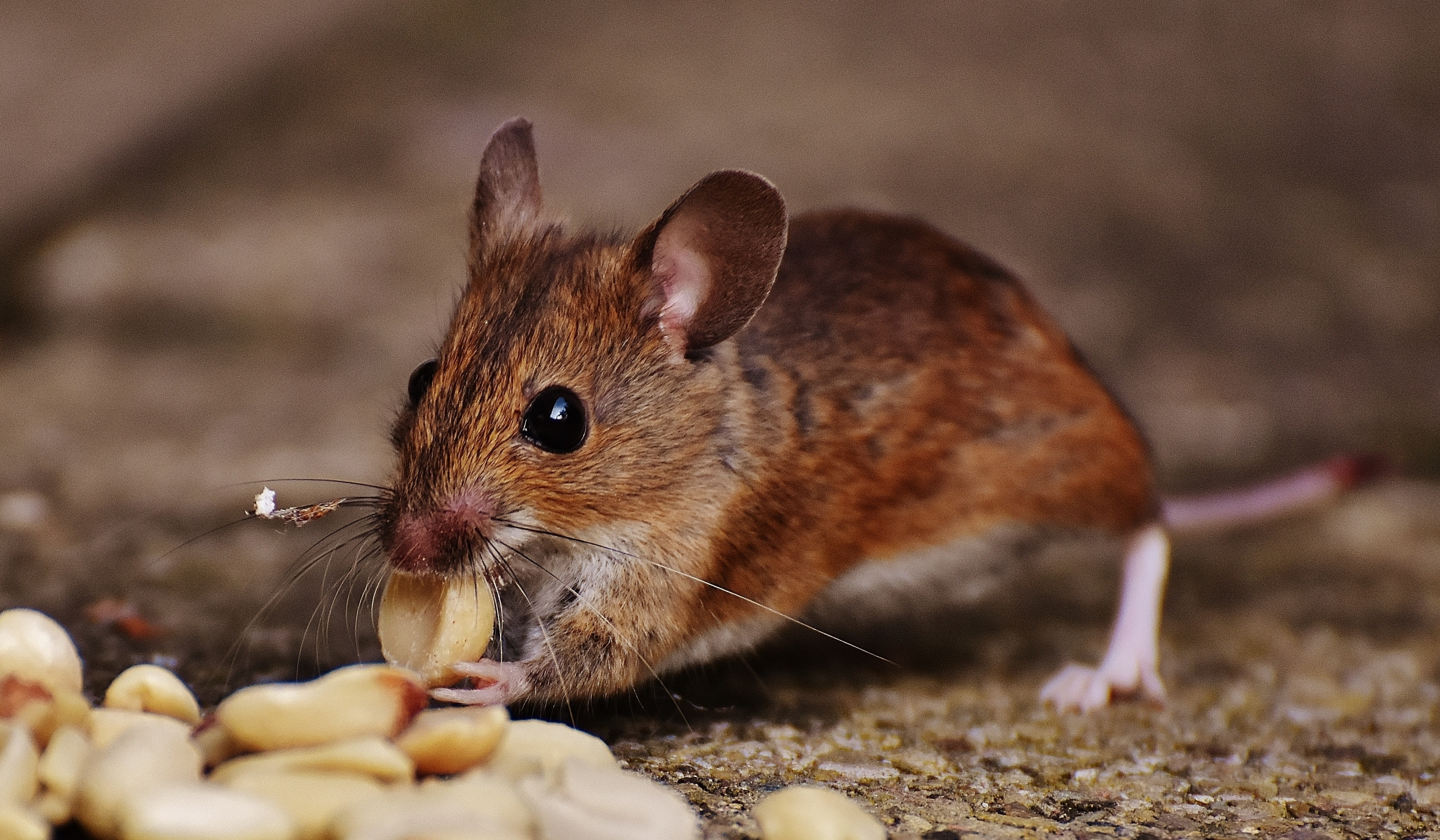 How to Get Rid of House Mice