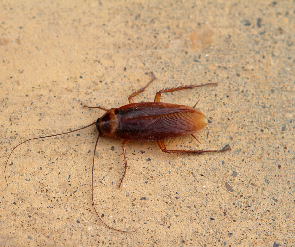 What You Need to Know About Oriental Cockroach