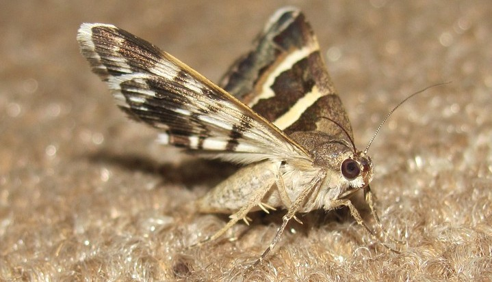 Clothes Moth on Fabric – Get Rid of Clothes Moths with ASAP Pest Control