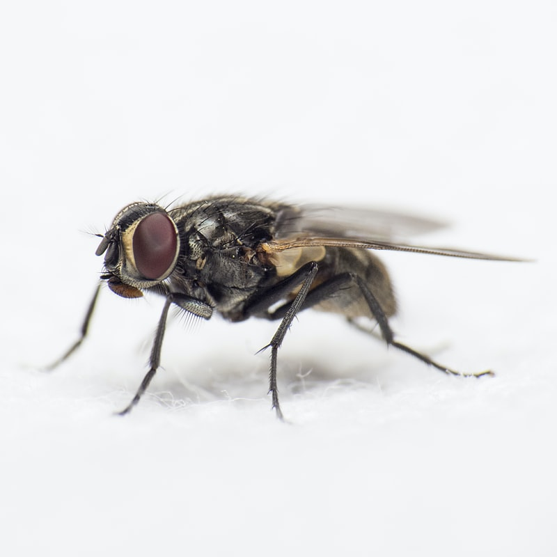 A close up look at a phorid fly – ASAP Pest Control
