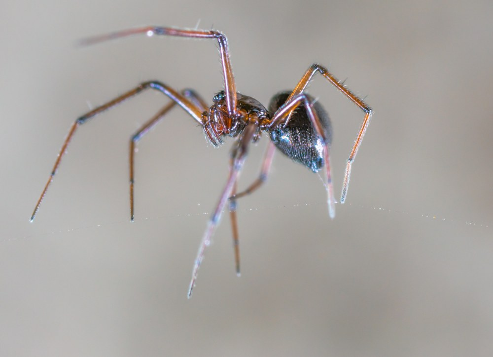Household spider identified and removed from by the experts at ASAP pest control